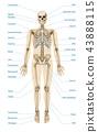 Realistic Human Skeletal System Infographics 43888115