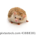 Hedgehog on white background 43888381
