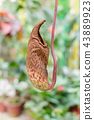 Nepenthes also known as tropical pitcher plants 43889923