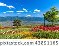 ภูเขาฟูจิ,ภูเขาไฟฟูจิ,แปลงดอกไม้ 43891165