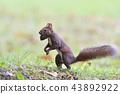 松鼠 日本北海道松鼠 松鼠常見的東 43892922