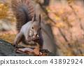 松鼠 日本北海道松鼠 松鼠常見的東 43892924