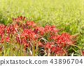 cluster amaryllis, red spider lily, bloom 43896704