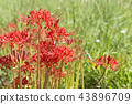cluster amaryllis, red spider lily, bloom 43896709