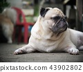 lovely happy white fat cute pug dog on garage  43902802