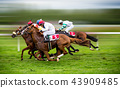 Race horses with jockeys on the home straight 43909485