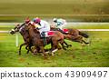 Race horses with jockeys on the home straight 43909497