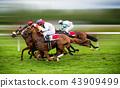 Race horses with jockeys on the home straight 43909499