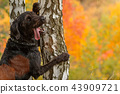Black mutt dog posing in autumn park. 43909721