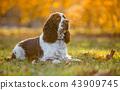 Sitting English cocker spaniel. Autumn. 43909745