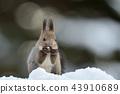 松鼠 日本北海道松鼠 松鼠常見的東 43910689