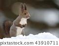 松鼠 日本北海道松鼠 松鼠常見的東 43910711