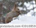 松鼠 日本北海道松鼠 松鼠常見的東 43910859