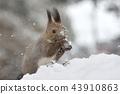 松鼠 日本北海道松鼠 松鼠常見的東 43910863