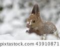松鼠 日本北海道松鼠 松鼠常見的東 43910871