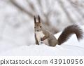 松鼠 日本北海道松鼠 松鼠常見的東 43910956