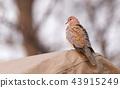 Laughing Dove (Spilopelia senegalensis) 43915249