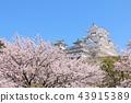 ปราสาท Himeji และดอกซากุระ 43915389