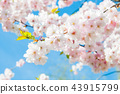 Sakura. Cherry blossoms japan. Pink spring blossom background. 43915799