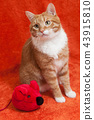 red cat with plush toy mouse 43915810