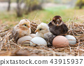 chickens with eggs in egg box 43915937