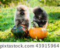 pomeranian dogs and pumpkin, halloween 43915964