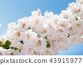 white flowers blossoming apple tree 43915977