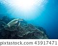 海龜 烏龜 綠海龜 43917471