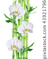 Bamboo and orchid flowers on white background 43921796