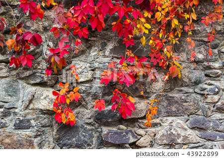 colorful texture of ivy plant on the stone wall 43922899
