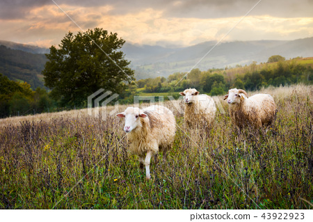 two sheep and ram walk through grassy meadow 43922923