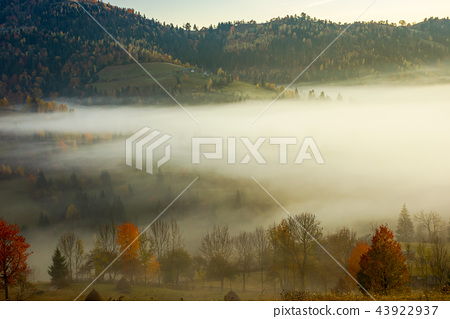row of trees on the meadow in morning fog 43922937