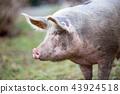 Big organic free range pig close up 43924518