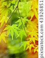 green leaves, Japanese maple 43926851