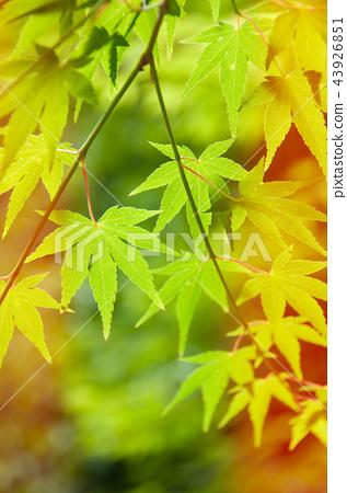 green leaves, Japanese maple 43926851