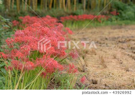 曼珠沙華 피안 꽃 43926992