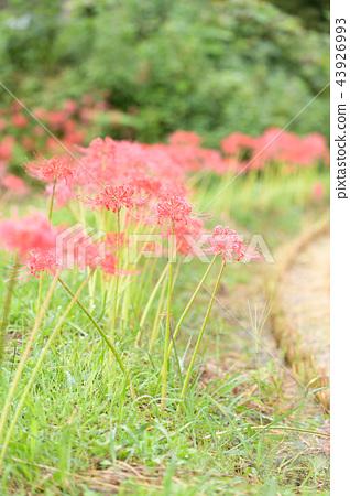 曼珠沙華 피안 꽃 43926993