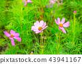 秋天 花朵 背景 43941167