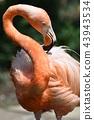flamingo, flamingoes, flamingos 43943534