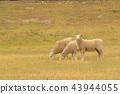 Cute fram sheep on green glass 43944055