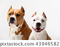 Red and white dog downs at white background 43946582