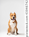 Red and white dog downs at white background 43946742