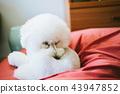 在休息期間的玩具獅子狗 43947852