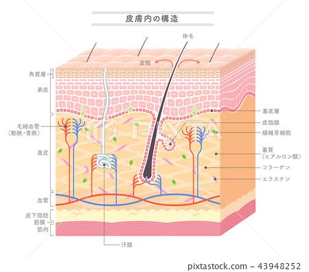 人體皮膚 皮膚 結構 43948252