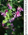 ดอกไม้,ไพ่ญี่ปุ่น,ดอกไม้ฤดูใบไม้ร่วง 43966412