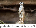 Suricata standing on a guard.  43966524