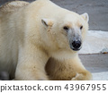 북극곰 43967955