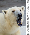 흰곰, 북극곰, 백곰 43967966
