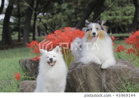Higanbana and Shelty and Japan Spitz 43969144