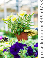 Hand of a florist holding beautiful potted yellow petunias 43969753
